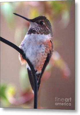 Female Anna Hummer Metal Print