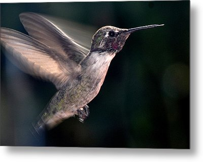 Metal Print featuring the photograph Male Anna In Flight by Jay Milo