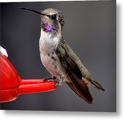 Metal Print featuring the photograph Female Anna's Hummingbird On Perch Posing For Her Supper by Jay Milo