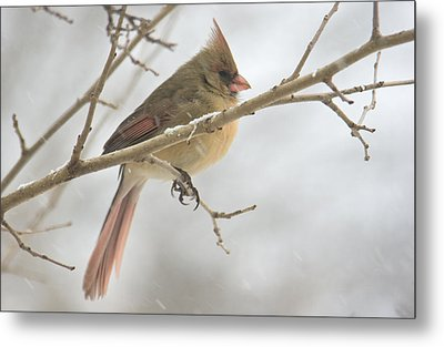 Female Cardinal In Snow 02 Metal Print by Shelly Gunderson