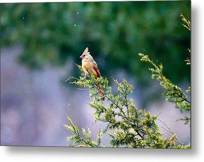 Metal Print featuring the photograph Female Cardinal In Snow by Eleanor Abramson
