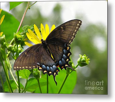 Metal Print featuring the photograph Female Dark Form Swallowtail Butterfly  by Eva Kaufman