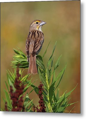Metal Print featuring the photograph Female Dickcissel by Daniel Behm