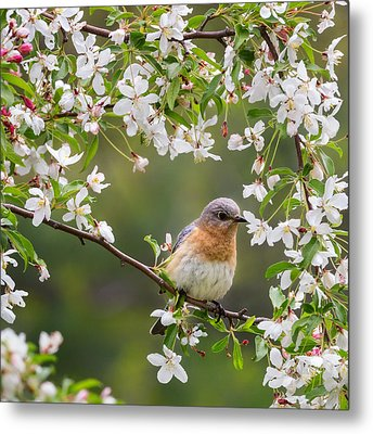 Female Eastern Bluebird Square Metal Print