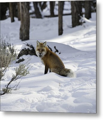 Female Fox Metal Print