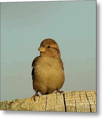 Female House Sparrow Metal Print by Bob and Jan Shriner