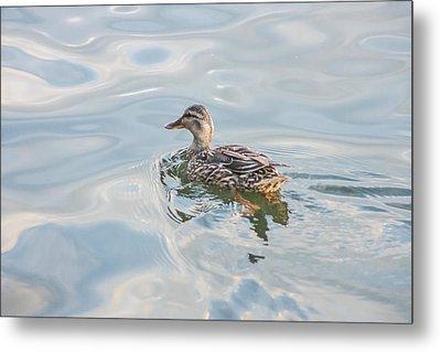 Female Mallard Duck On A Glassy Lake Metal Print by Photographic Arts And Design Studio