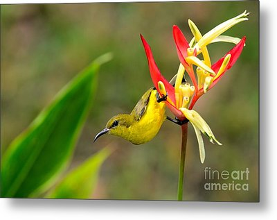 Female Olive Backed Sunbird Clings To Heliconia Plant Flower Singapore Metal Print by Imran Ahmed