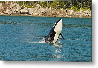 Metal Print featuring the photograph Female Orca Cheval Island Alaska by Michael Rogers