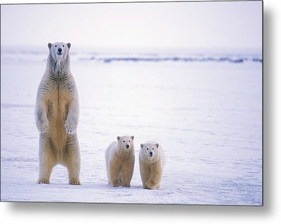 Female Polar Bear Standing With Her Two Metal Print