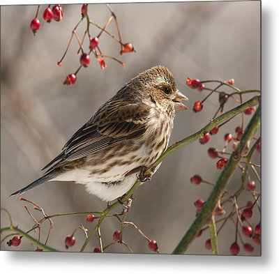 Metal Print featuring the photograph Female Purple Finch On Berries by Lara Ellis