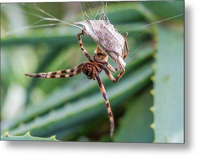Female Rain Spider Guarding Her Nest Metal Print