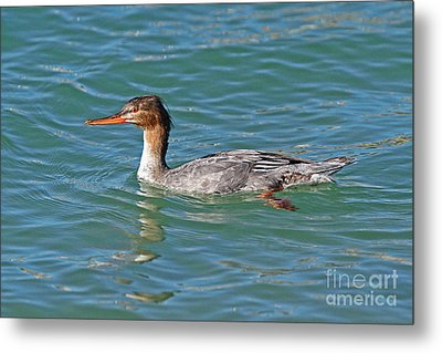 Female Red-breasted Merganser Metal Print