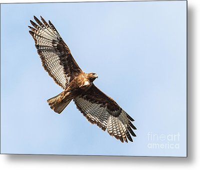 Female Red-tailed Hawk Metal Print by Carl Jackson