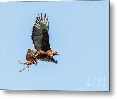 Female Red-tailed Hawk In Flight Metal Print by Carl Jackson