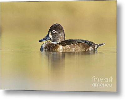 Metal Print featuring the photograph Female Ring Necked Duck by Bryan Keil