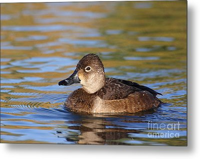 Metal Print featuring the photograph Female Ringneck by Ruth Jolly