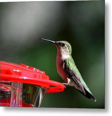 Female Ruby Throat At Feeder Metal Print by Kathy Eickenberg