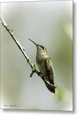Female Ruby-throated Hummingbird 1 Metal Print by Kathy Ponce