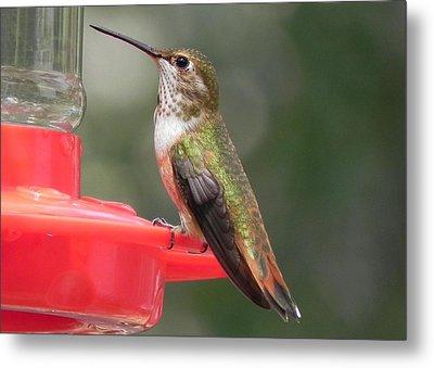 Female Rufous Hummingbird Metal Print