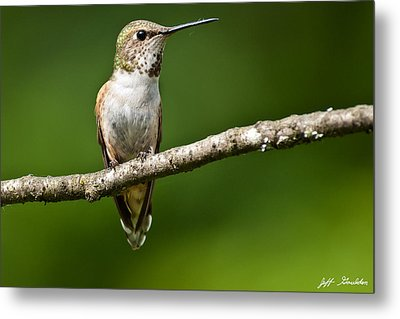 Metal Print featuring the photograph Female Rufous Hummingbird In A Tree by Jeff Goulden