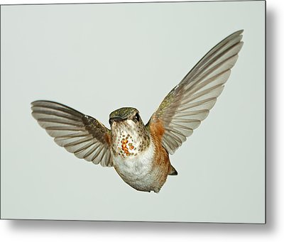 Female Rufous Hummingbird With Sequins Metal Print by Gregory Scott