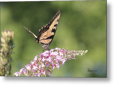 Female Tiger Butterly-1-featured In Macro-comfortable Art And Newbies Groups Metal Print by EricaMaxine  Price