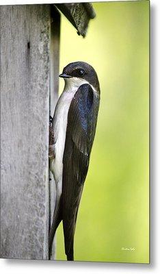 Tree Swallow On Nestbox Metal Print by Christina Rollo