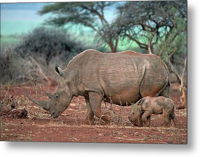 Female White Rhino With Calf Metal Print