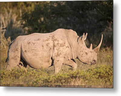 Female White Rhinoceros Metal Print