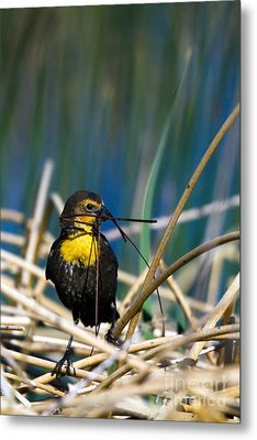 Blackbird Builds A Nest Metal Print by Martha Marks