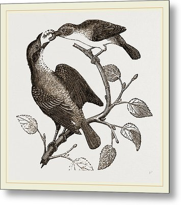 Female Yellow-throat And Cow-bunting Metal Print by Litz Collection