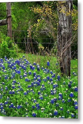 Fenced In Bluebonnets Metal Print by David and Carol Kelly