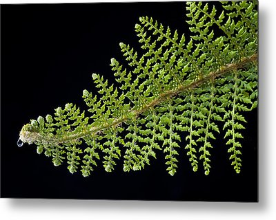 Fern With Raindrop 2 Metal Print by Trevor Chriss