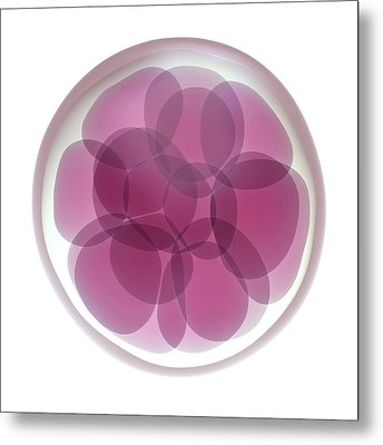 Fertilised Egg Cell Dividing Metal Print by Maurizio De Angelis