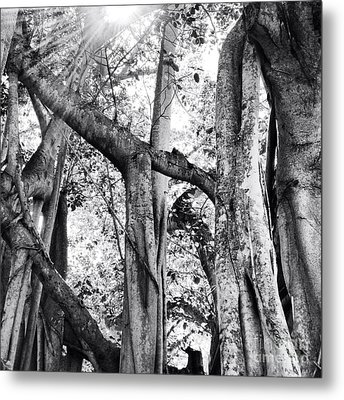 Ficus Altissima In Black And White Metal Print