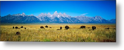 Field Of Bison With Mountains Metal Print by Panoramic Images