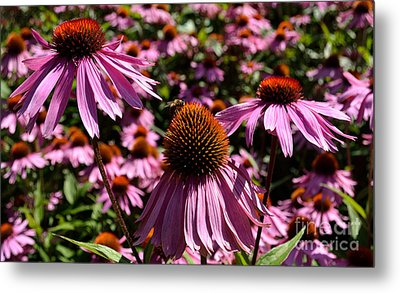 Field Of Echinaceas Metal Print by Scott Lyons