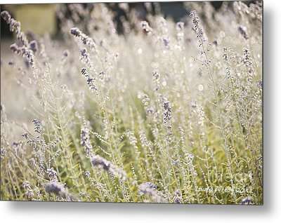 Field Of Lavender At Clos Lachance Vineyard In Morgan Hill Ca Metal Print