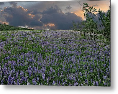 Field Of Lupine Metal Print