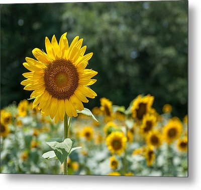 Field Of Sun Metal Print by Brian Young