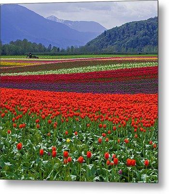 Field Of Tulips Metal Print by Jordan Blackstone