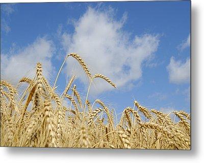 Field Of Wheat Metal Print by Charles Beeler