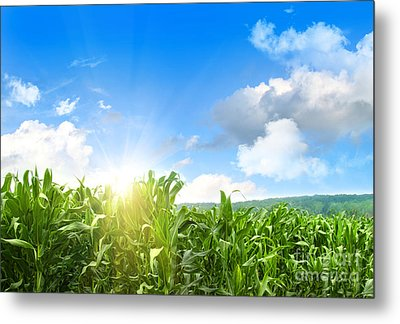 Field Of Young Corn Growing Against Blue Sky Metal Print