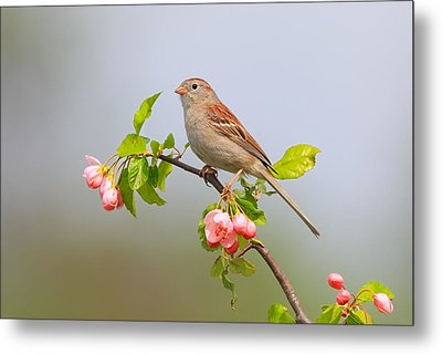 Field Sparrow On Apple Blossoms Metal Print by Daniel Behm