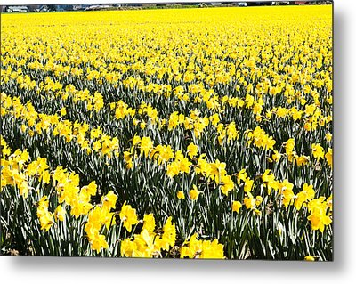 Fields Of Daffodils  Metal Print