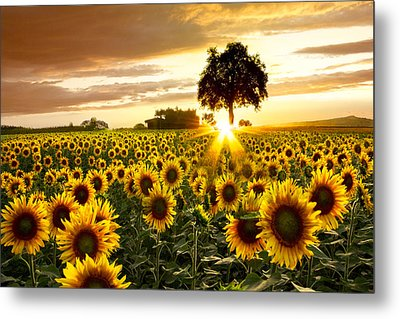 Fields Of Gold Metal Print by Debra and Dave Vanderlaan