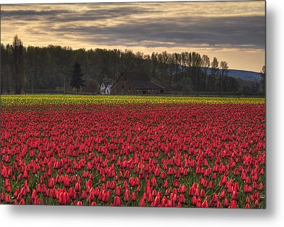 Fields Of Tulips Metal Print by Mark Kiver