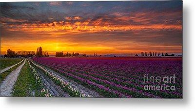 Fiery Skies Above Broad Tulips Metal Print