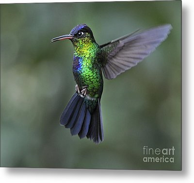 Fiery-throated Hummingbird..  Metal Print by Nina Stavlund